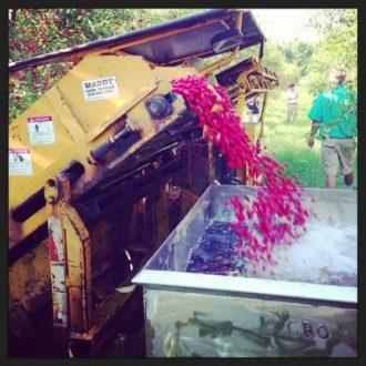 Annual Tart Cherry Harvest in Traverse City, MI