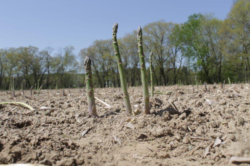 Asparagus Season with Wilson Farm via LizsHealthyTable.com #podcast